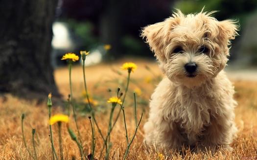 Lindo-perro-maltés-1800x2880
